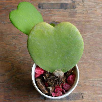 6 cm Heart Plant Hoya Plant in Grower Pot (4-Piece)