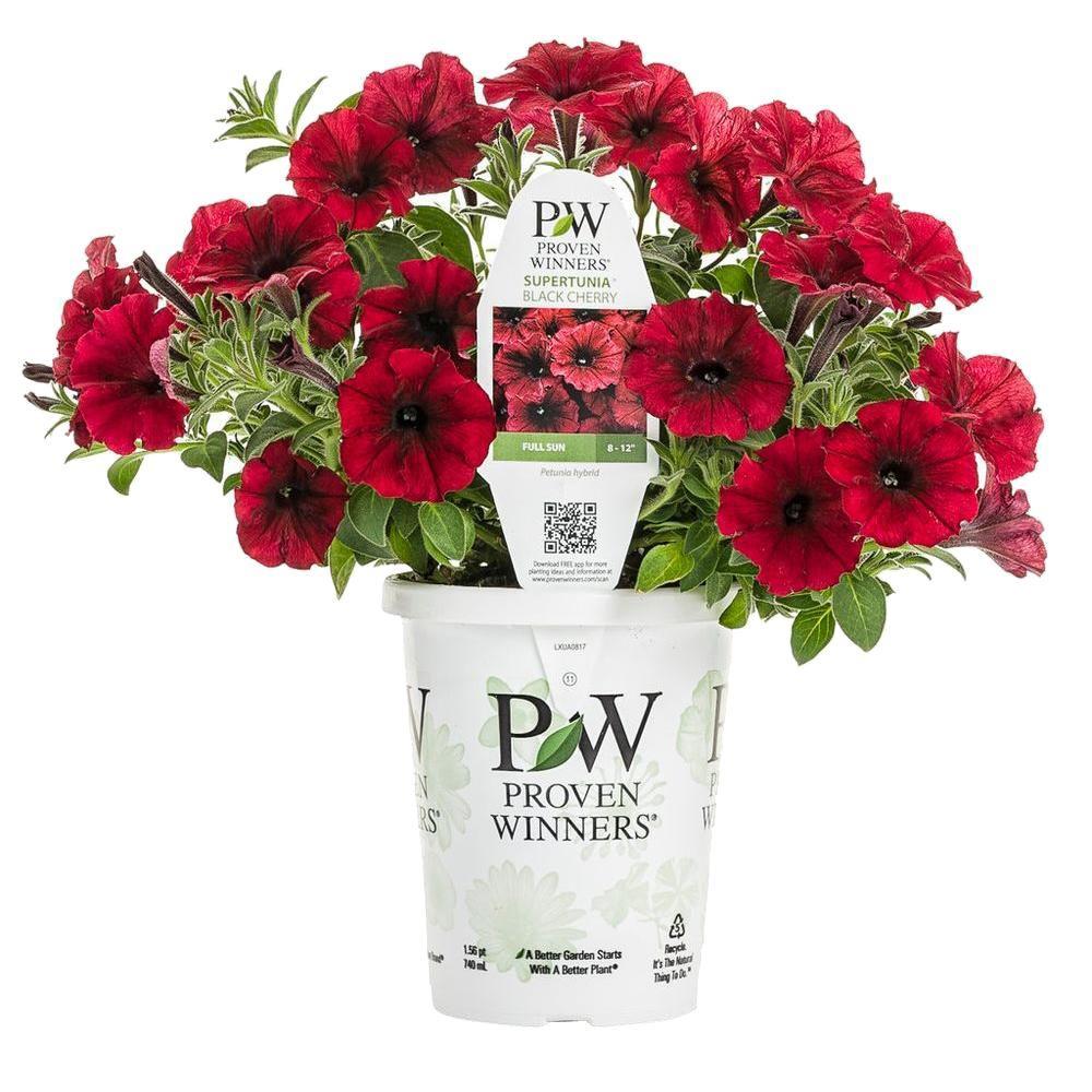 Proven Winners Supertunia Black Cherry Petunia Live
