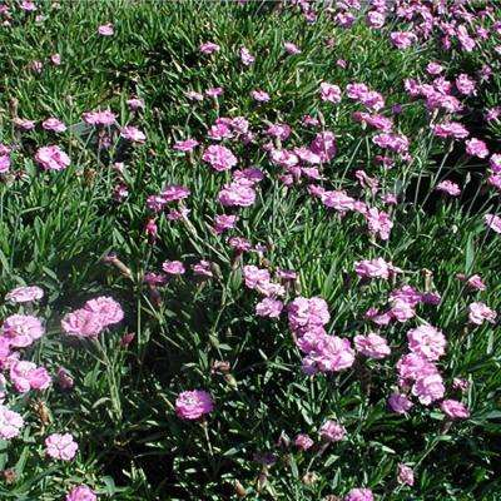 1 gal. Tiny Rubies Cheddar Pinks Plant