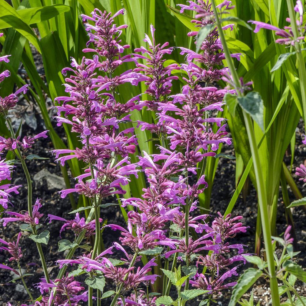 Spring Hill Nurseries 2 in  Pot Tango Hummingbird Mint (Agastache) Live  Perennial Plant Orange and Purple Flowers