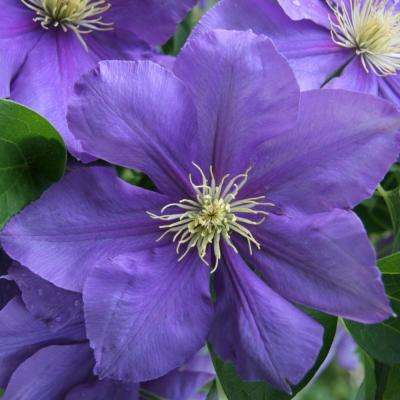 Spring to fall perennials garden plants flowers the home depot general sikorski clematis live bareroot plant purple flowering perennial mightylinksfo