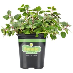 19.3 oz. Greek Oregano