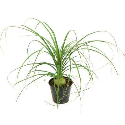 5.5 in. Cottage Hill Ponytail Palm Plant in Pot