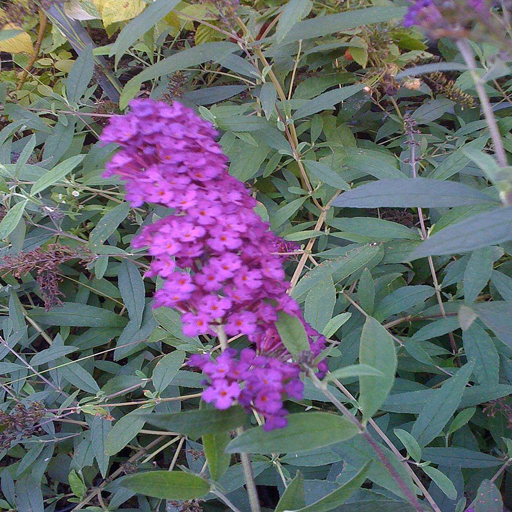 OnlinePlantCenter 2 gal. Royal Red Butterfly Bush Plant
