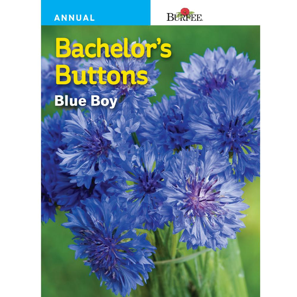 Bachelor'S Buttons Blue Boy Flower Seed