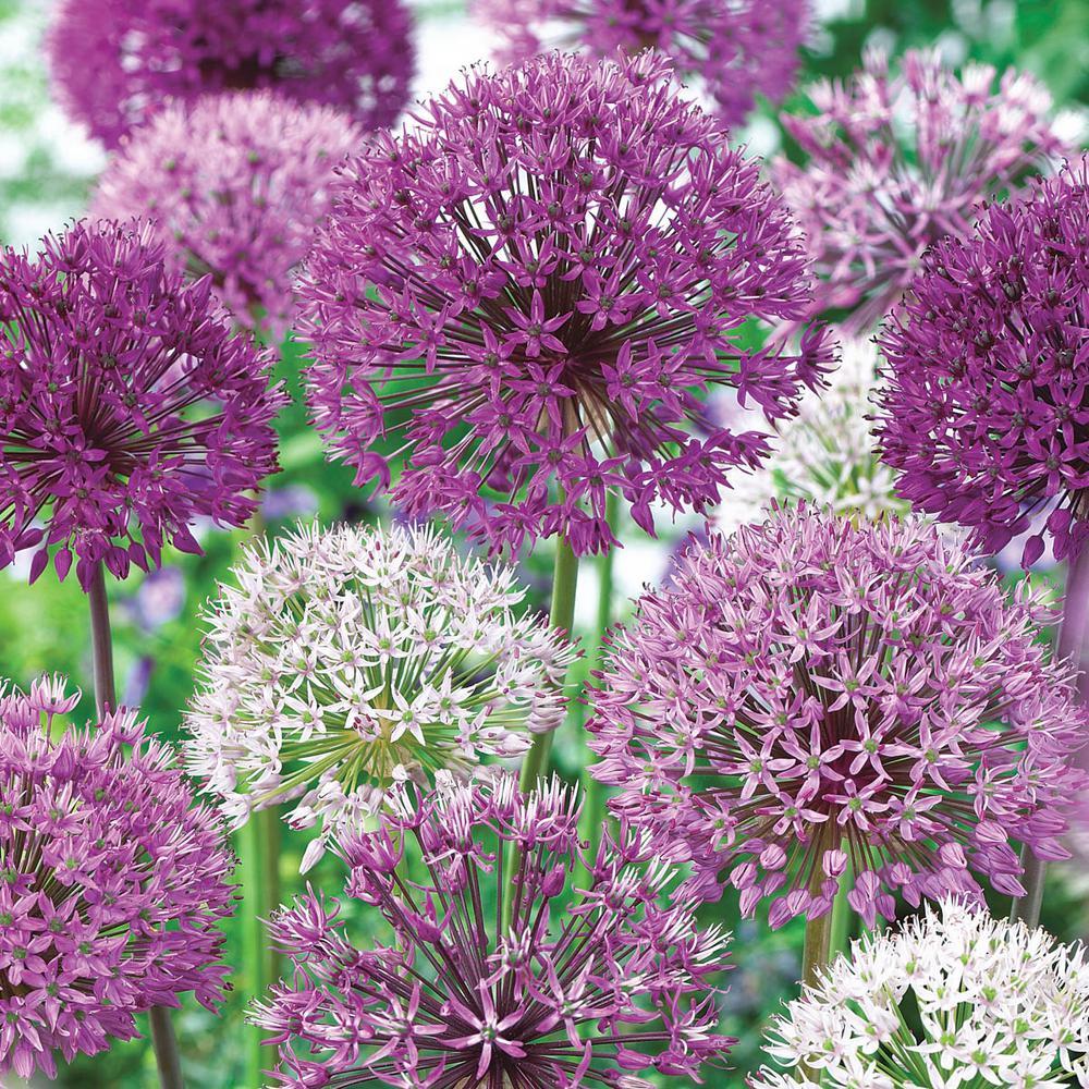 Spring Hill Nurseries Giant Allium Bulbs Mixture 15 Pack