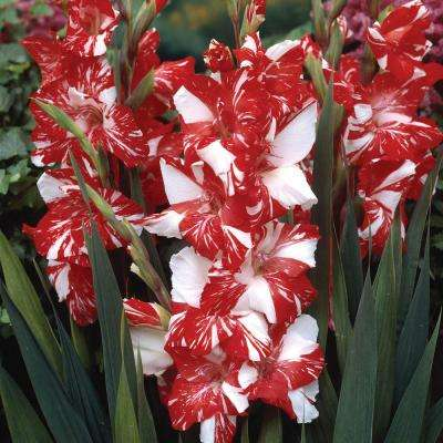 White and Red Flowers Zizane Gladiolus Bulbs (25-Pack)