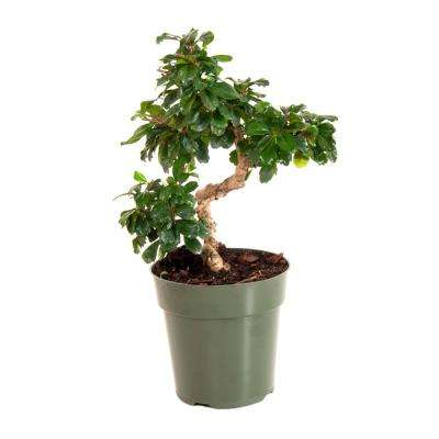 Fukien Tea in 6 in. Grower Pot
