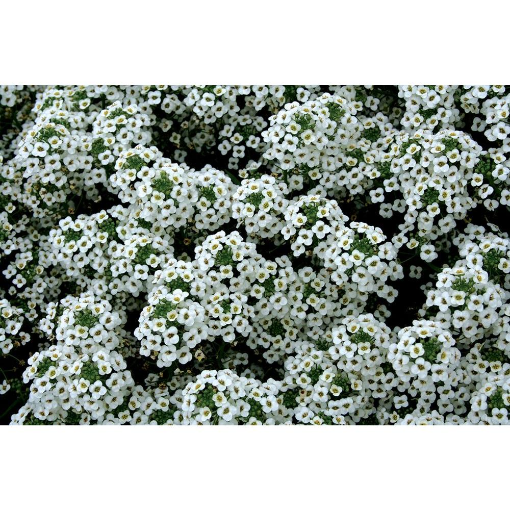 Alyssum annuals garden plants flowers the home depot snow princess sweet alyssum lobularia live plant white flowers 425 in mightylinksfo