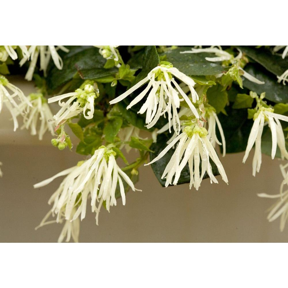 Proven winners jazz hands dwarf white chinese fringe flower proven winners jazz hands dwarf white chinese fringe flower loropetalum live shrub mightylinksfo