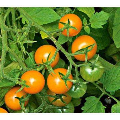 Sungold Cherry Tomato, Live Plant, Vegetable, 4.25 in. Grande