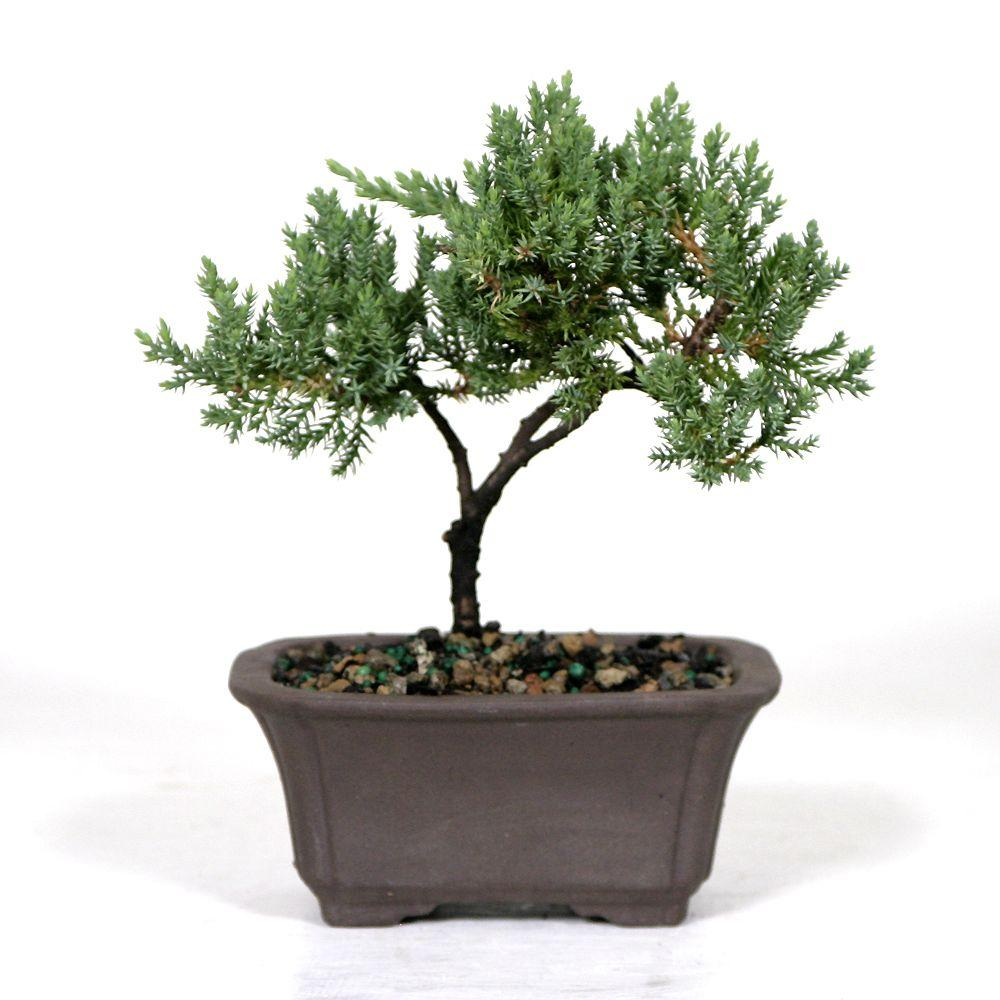 Bonsai Trees Indoor Plants The Home Depot Wiring Juniper Tree Green Mound