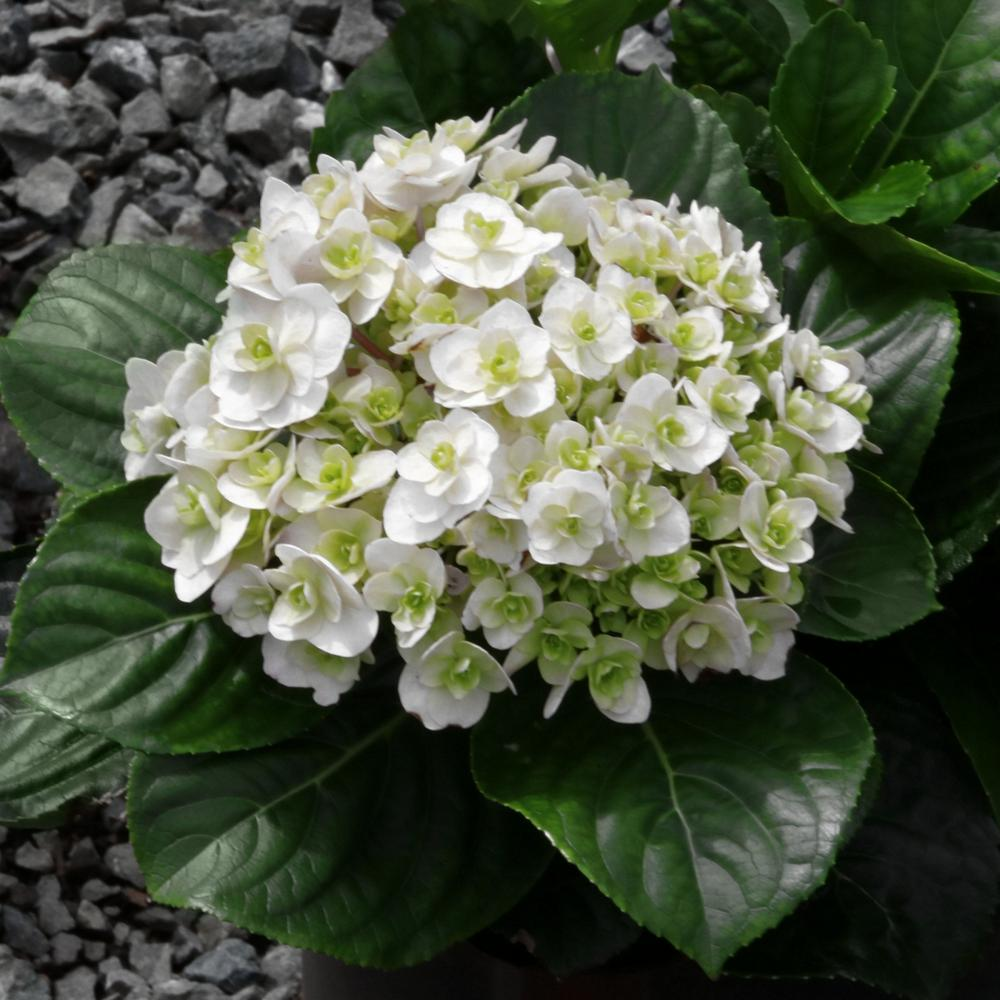 White Wedding Gown Hydrangea: National Plant Network 4 In. Wedding Gown Hydrangea Shrub