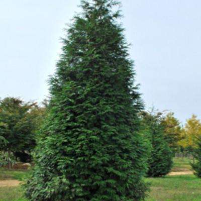 Evergreen Trees Trees Bushes The Home Depot