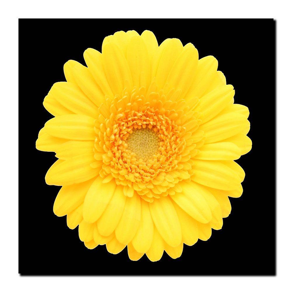 14 in. x 14 in. Yellow Gerber Daisy Canvas Art