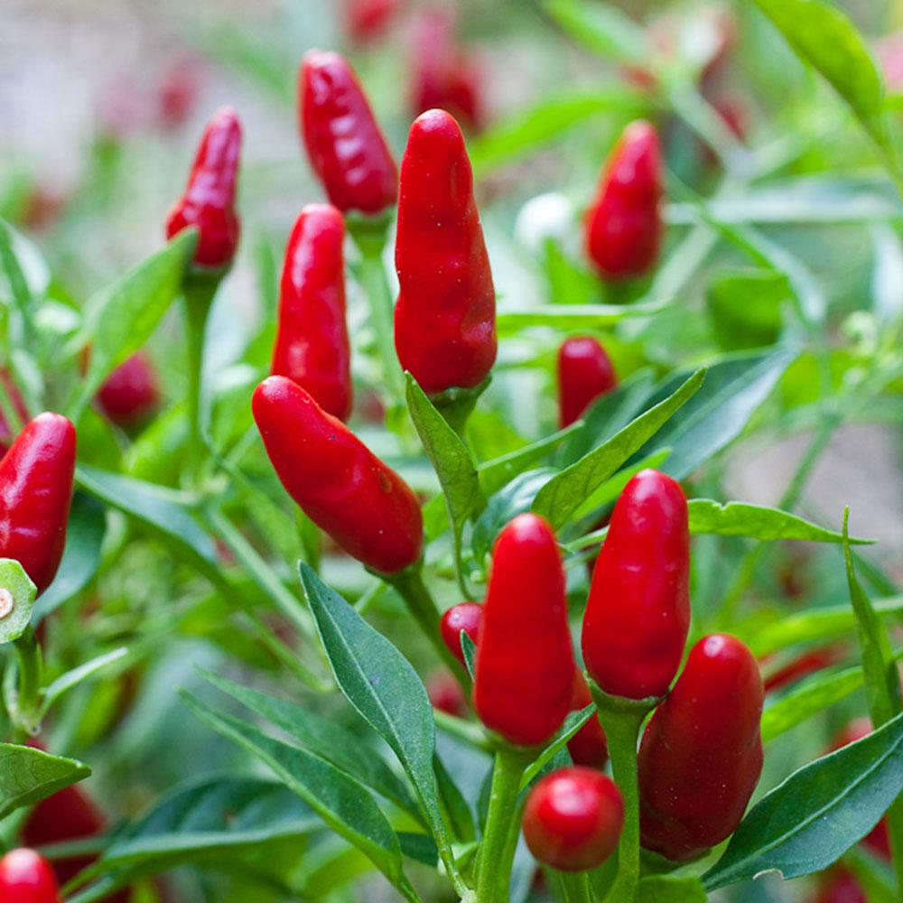 Bonnie Plants 4 5 In Pepper Ornamental Thai Hot 3300