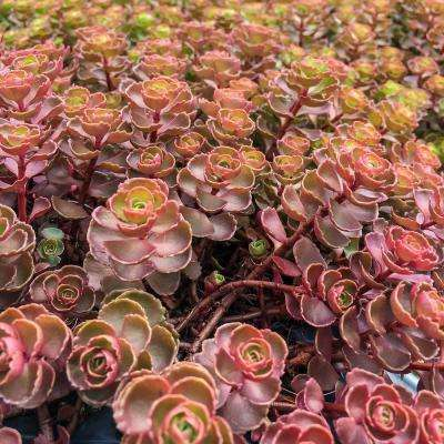 3 in. Pot Dragon's Blood Sedum Groundcover Live Bareroot Perennial Plant Blue Foliage with Red Flowers (1-Pack)