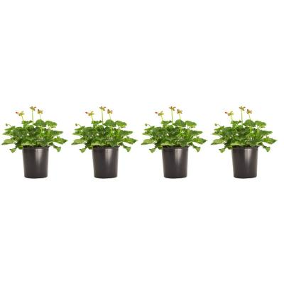 1 Gal. Geranium Red Flowers in 6.3 In. Grower's Pot (4-Pack)