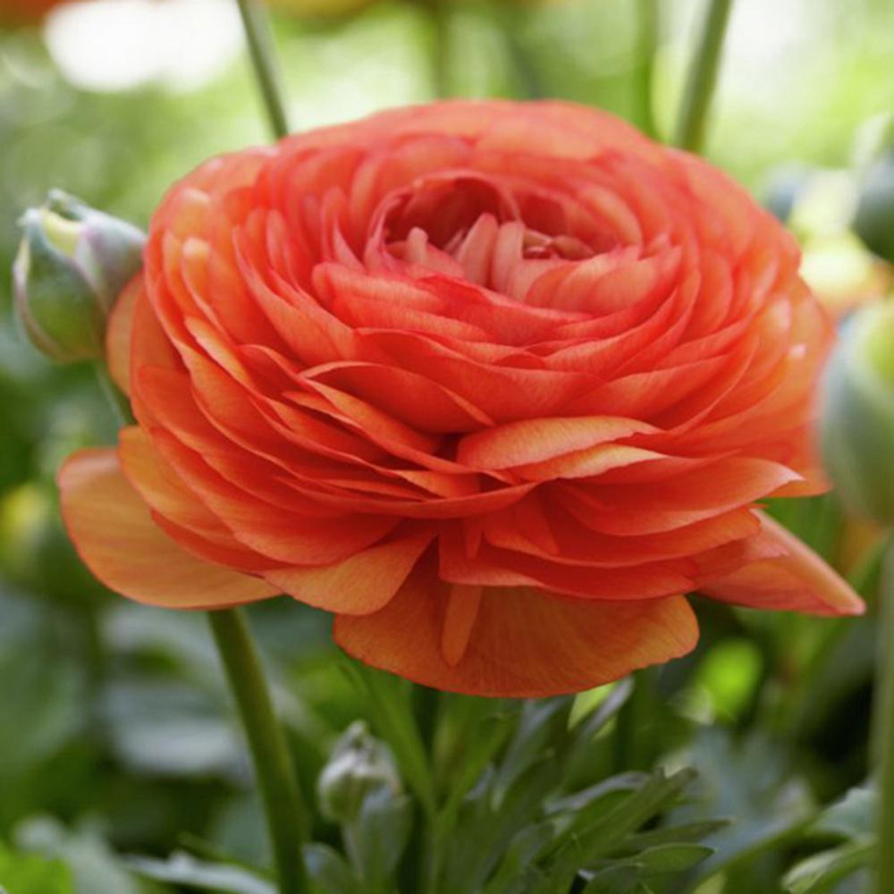 Butter Cups Ranunculus Double Tangerine Bulbs (Set of 25)