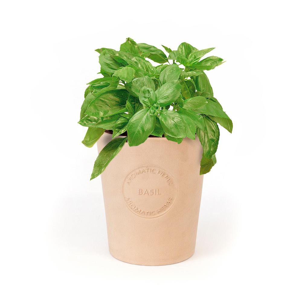 Organic Basil Seeds in Natural Clay Planter