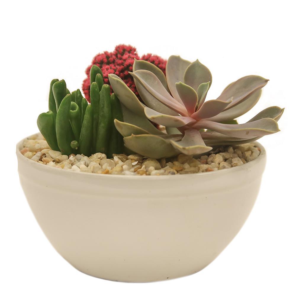 Flowering cactus succulents cactus plants garden plants pink desert gems garden in 6 in gloss ceramic bowl mightylinksfo