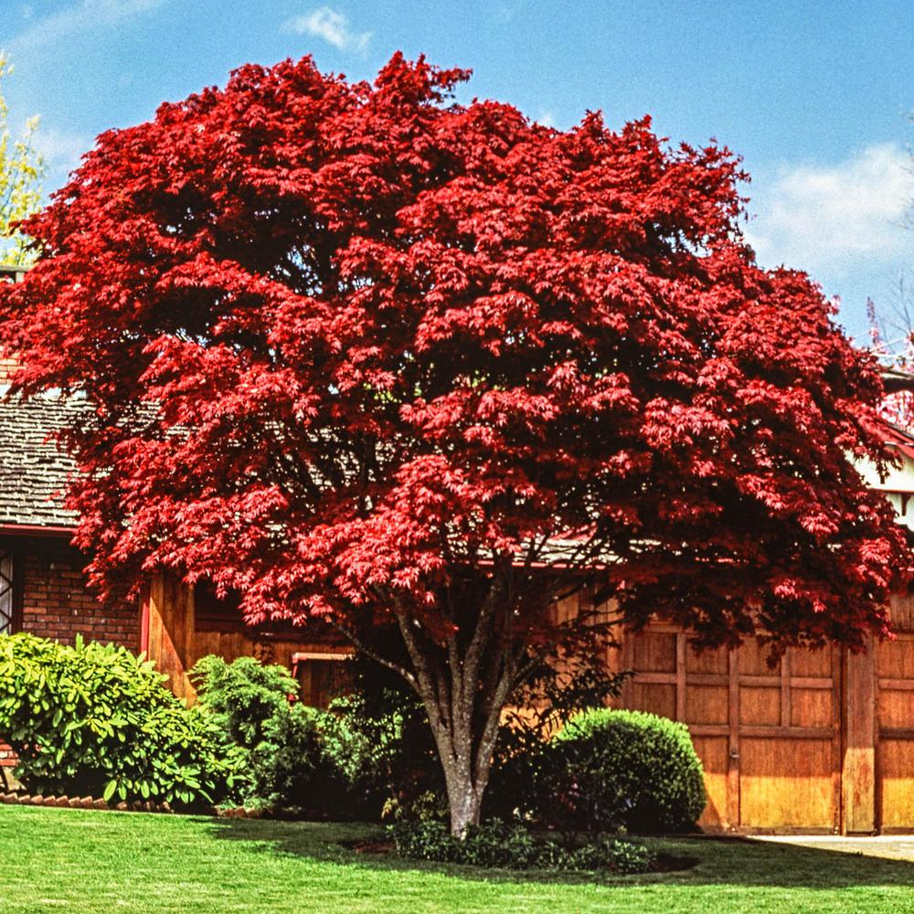 Spring Hill Nurseries Red Foliage Japanese Maple Acer Tree Live