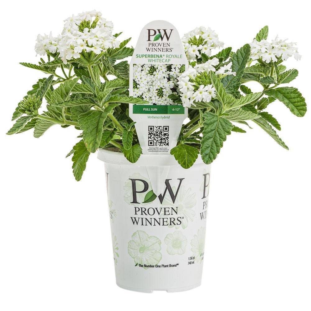 Proven winners superbena royale whitecap verbena live plant white flowers in grande - White flowering house plants ...