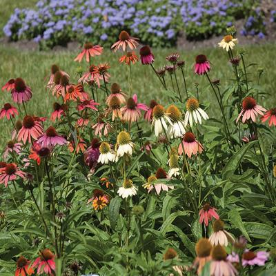 2 Gal. Cheyenne Spirit Mixed Coneflower Plant