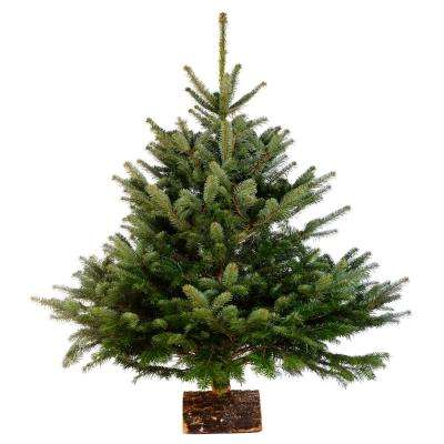 3 ft. to 4 ft. Freshly Cut Nordmann Fir Live Christmas Tree (Real, Natural, Oregon-Grown)