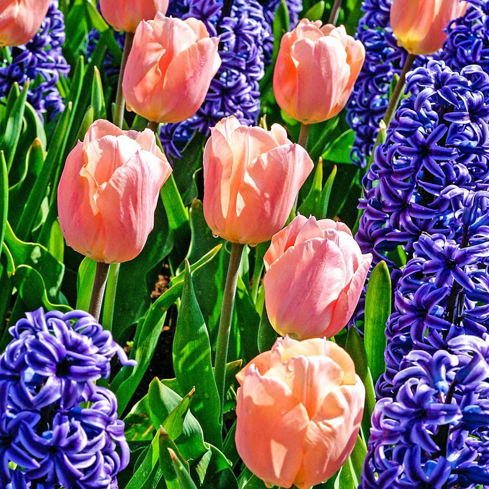 Apricot Beauty Single Early Tulip Bulbs (25-Pack)