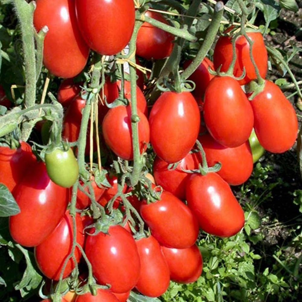 San Marzano HeirloomTomato, Live Plant, Vegetable, 4.25 in. Grande