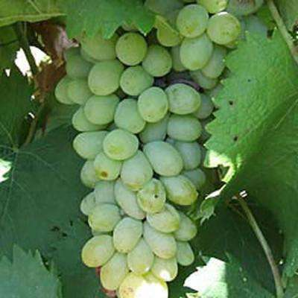 Neptune Grape Bareroot Plant