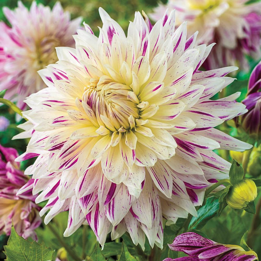 Breck's White and Purple Flowers Avignon Dinner Plate Dahlia Bulbs (5-Pack)