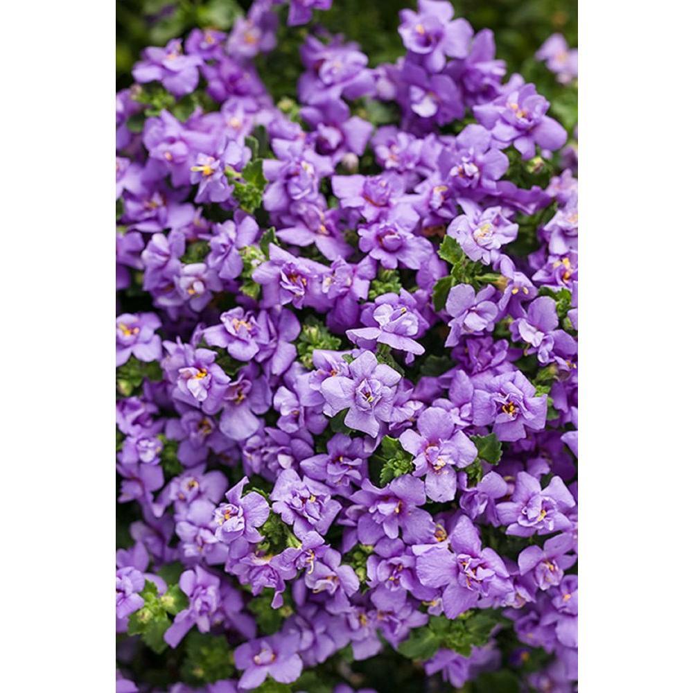 Proven Winners Snowstorm Blue Bubbles Bacopa Sutera Live Plant Lavender Flowers