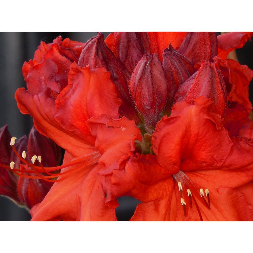 1 Gal. Nova Zembla Rhododendron Shrub Vibrant Scarlet Blossoms Contrast Beautifully Against Glossy Evergreen Foliage