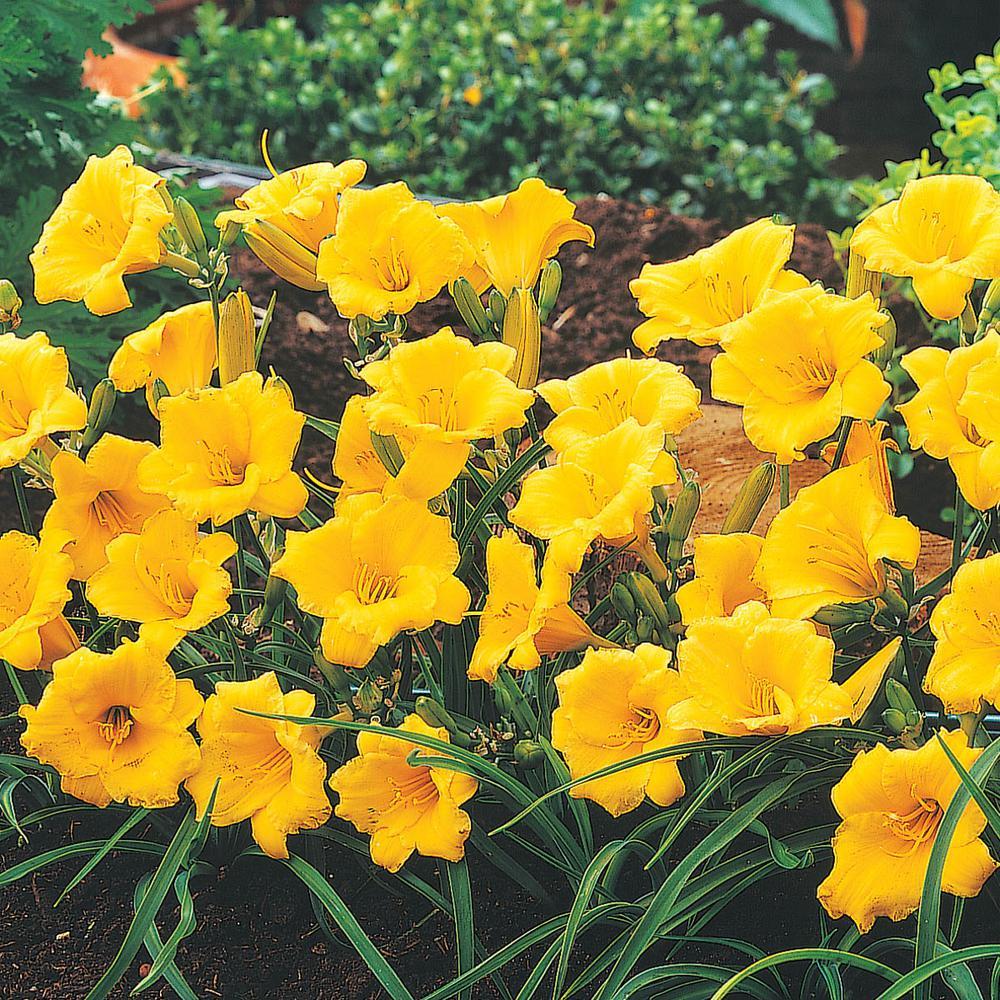 Stella De Oro Daylily (Hemerocallis) Yellow Flowering Perennial Live Bareroot Plant (5-Pack)