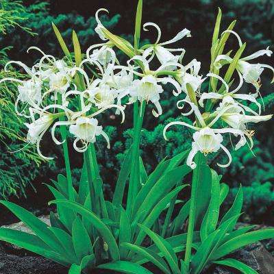 White Peruvian Daffodils (Hymenocallis) Flowers Bulbs (3-Pack)