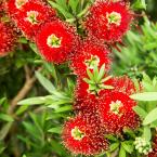2 Gal. Light Show Bottlebrush Dwarf Plant with Red Flowers