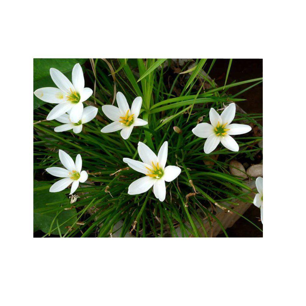 4 in. Potted Bog/Marginal Pond Plant - White Rain Lily