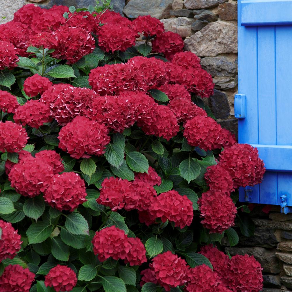 National Plant Network 2.5 Qt. Red Beauty Hydrangea Shrub ...