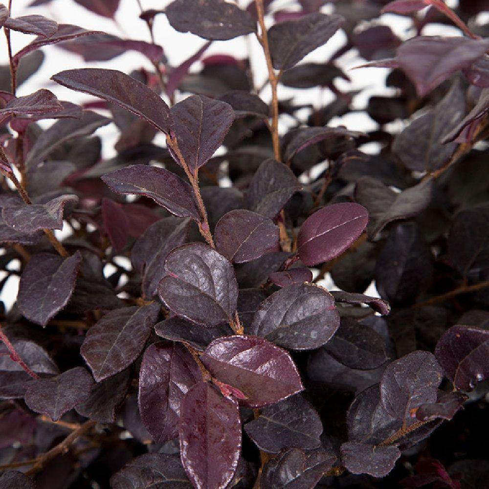 2 5 Qt Ruby Loropetalum Evergreen Shrub Purple Foliage 3979q