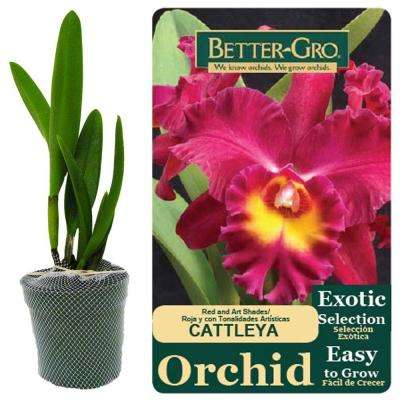 4 in. Red Cattleya Packaged Orchid