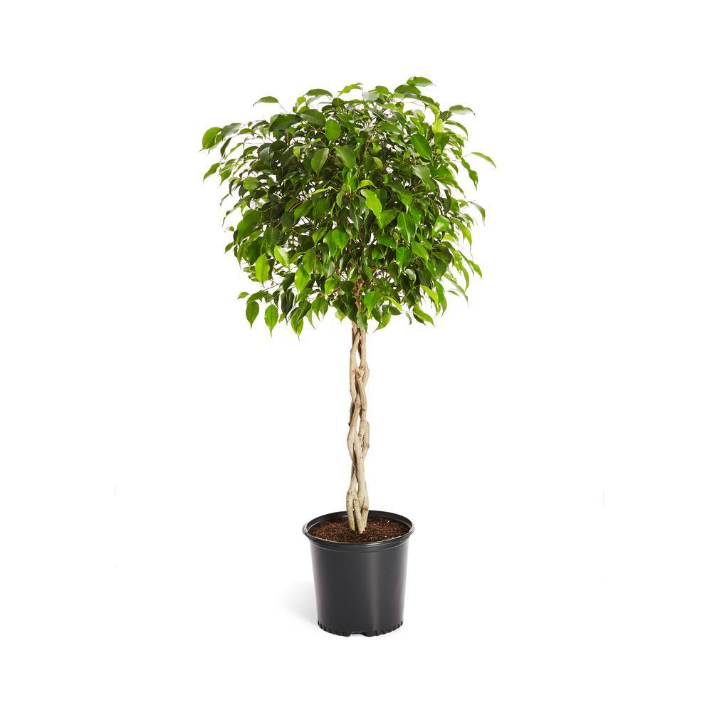 Benjamina Ficus Tree (Ficus Benjamina) in 3 Gal. Pot