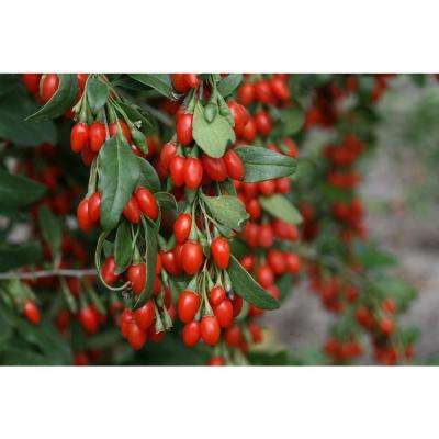 1 Gla. Sweet Lifeberry Goji berry (Lycium) Live Shrub, Purple Flowers and Red Fruit