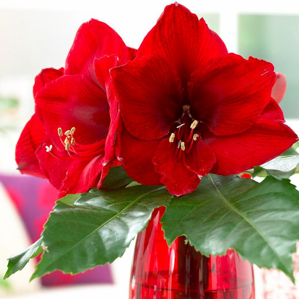 Amaryllis Bulbs Economy Red Lion (Set of 3)