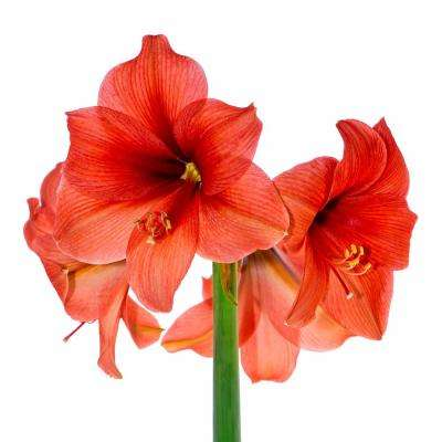 Amaryllis Red Lion Bulbs (3-Count/Pack)