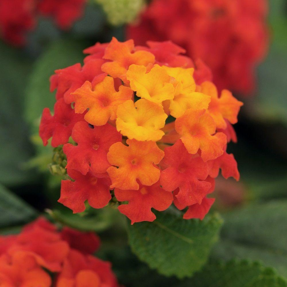2.5 Qt. Little Lucky Red Lantana, Live Perennial Plant, Red To Orange Bloom