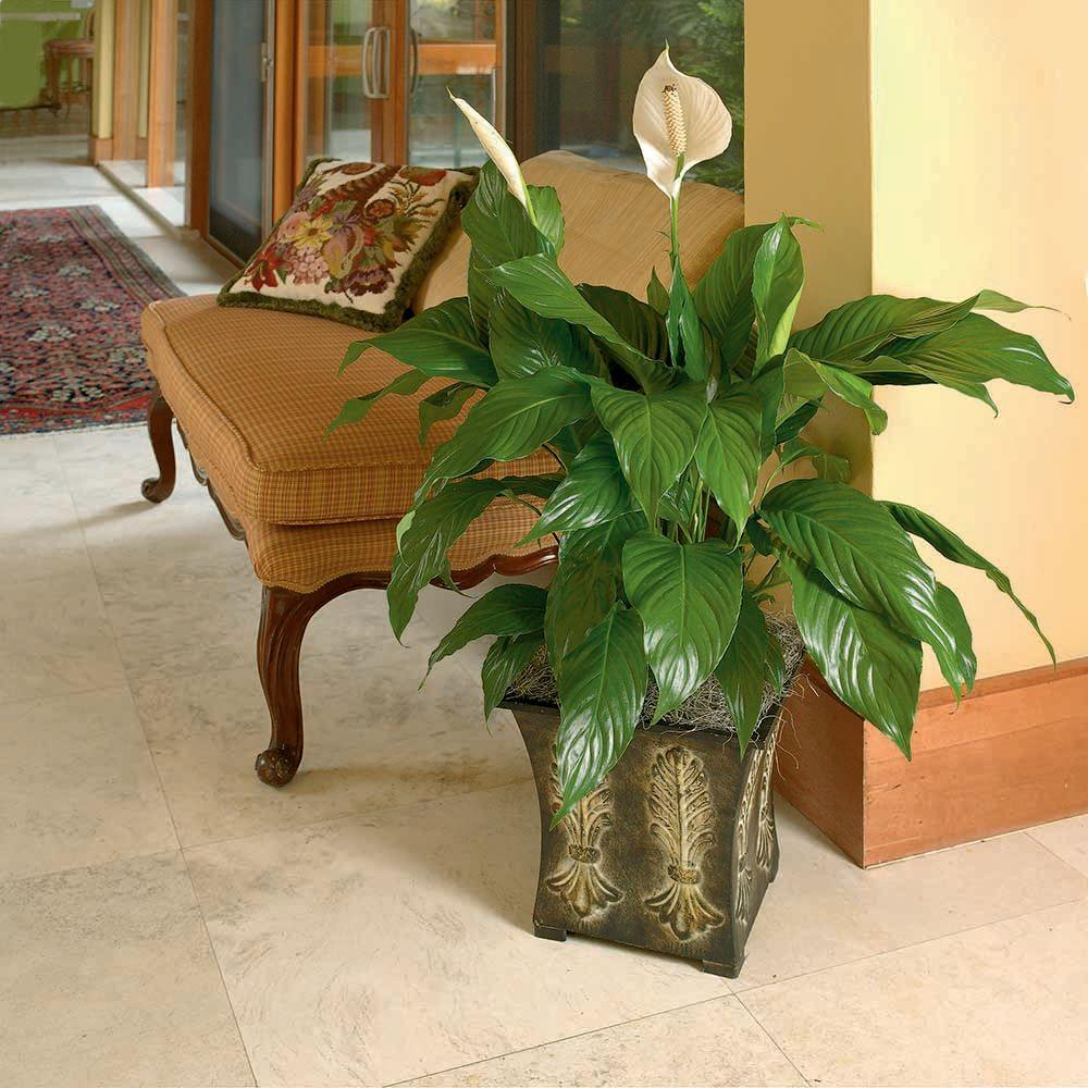 spathiphyllum spath the home depot. Black Bedroom Furniture Sets. Home Design Ideas