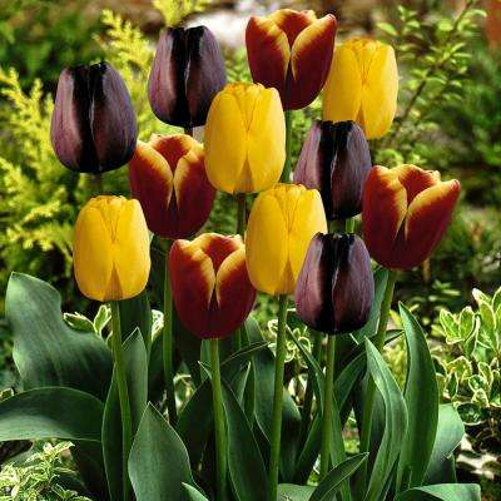 Tulips Bulbs Gavota Blend (Set of 15)