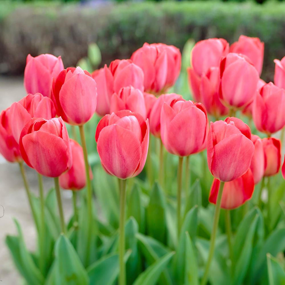 Garden State Bulb Tulip Pink Bulbs 100 Count Pack Hof18 07 The
